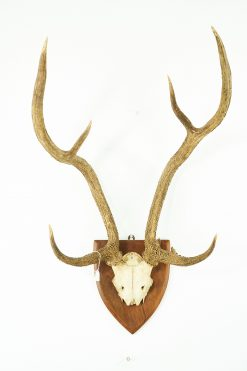 Chital Antlers