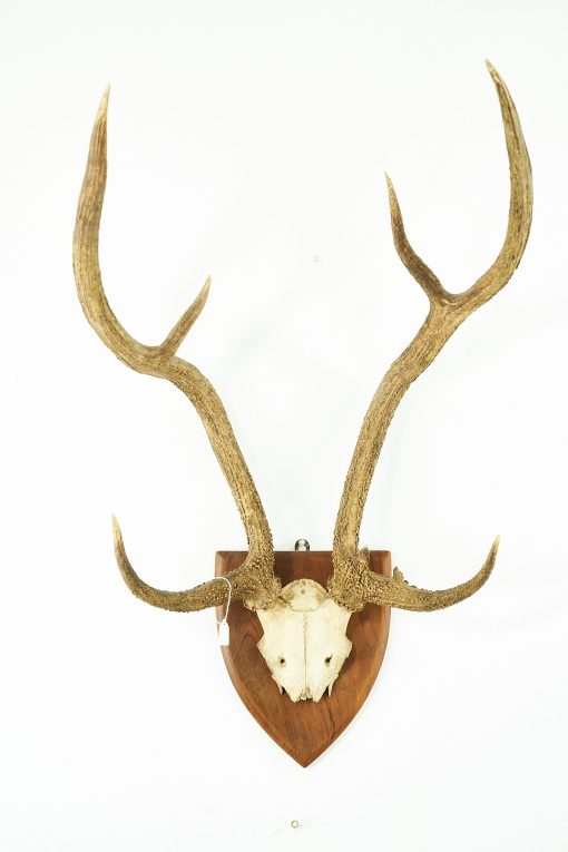 Chital Antlers