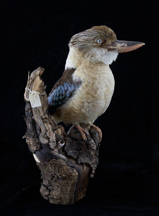 Kookaburra 8437