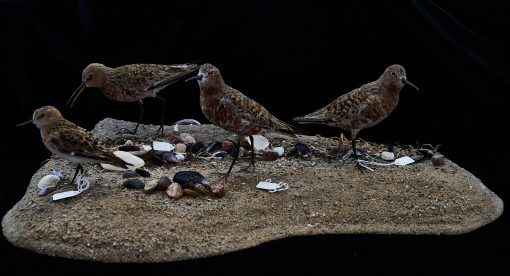 Curlew Sandpipers & Little Stint