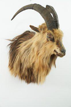 Feral Goat Head