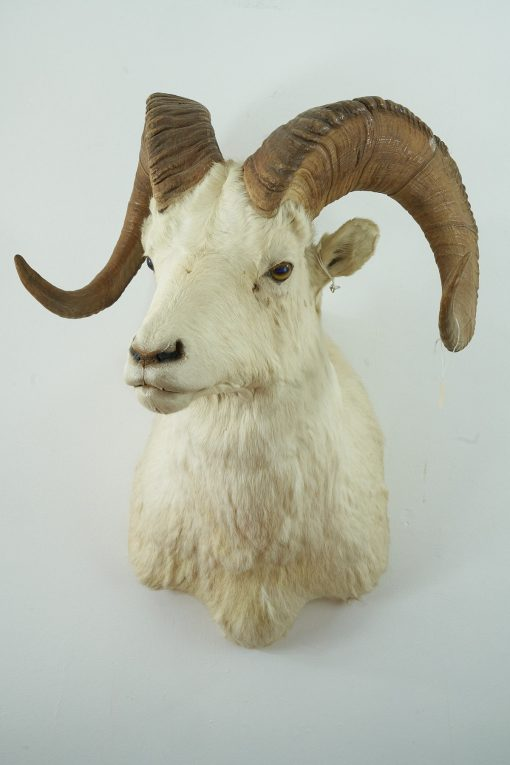 Dall's Sheep Head