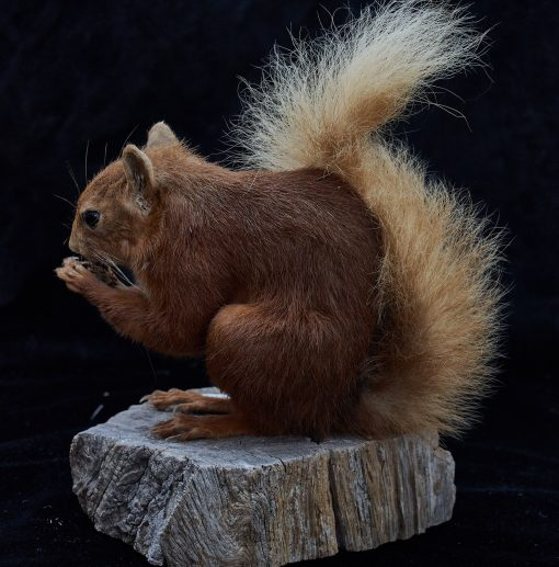 Red Squirrel 9210