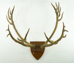 Pere David's Deer Antlers