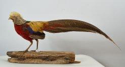 Golden Pheasant 8994