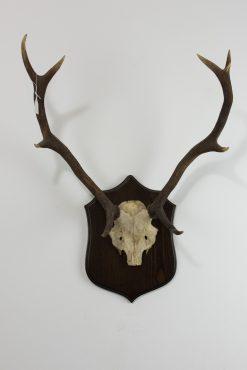 Red Deer Stag Antlers B1