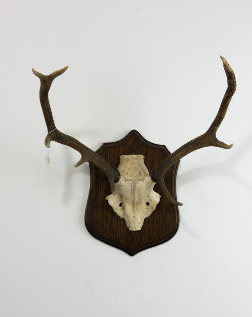 Red Deer Stag Antlers B2