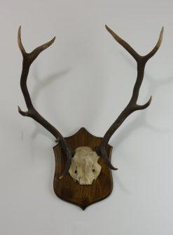 Red Deer Stag Antlers B3