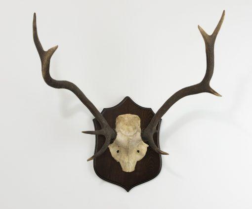 Red Deer Stag Antlers B4