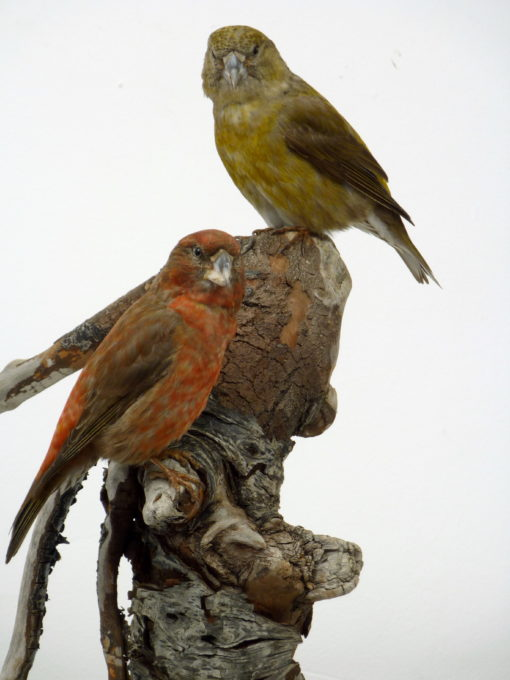Parrot Crossbills 8749-8750