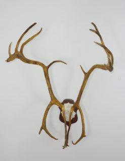 Caribou Reindeer Antlers