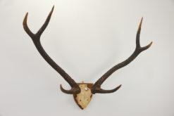 Sambar Deer Antlers