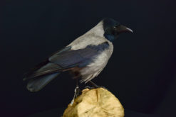 Hooded Crow 8858