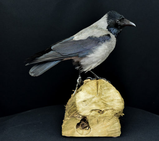 Hooded Crow 8858