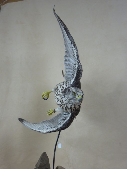 taxidermy falco rusticolus gyrfalcon flying head on