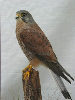 taxidermy Kestrel Male Close up