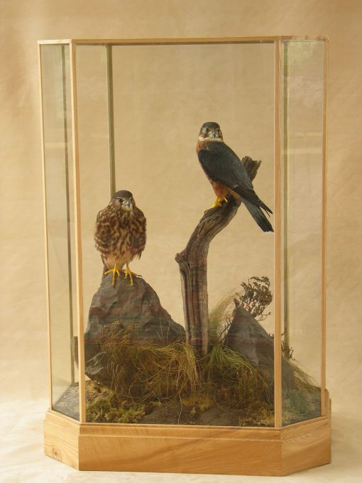 Male & Female Merlin Bird Taxidermy Mounts case 2