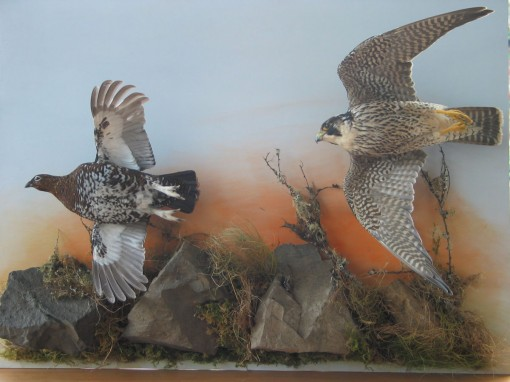 Peregrine Falcon Taxidermy flying