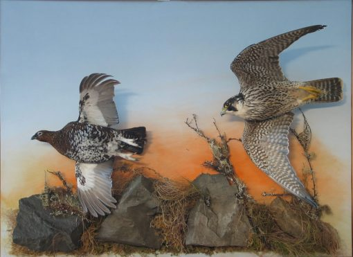 Peregrine Falcon Taxidermy flying 5