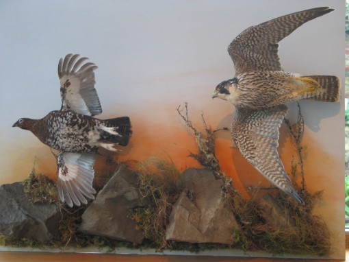 Peregrine Falcon Taxidermy flying 4