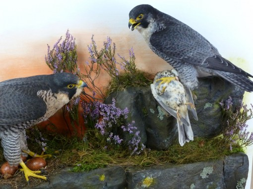 Peregrine Falcon Taxidermy at Nest 4