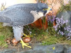 Peregrine Falcon Taxidermy at Nest
