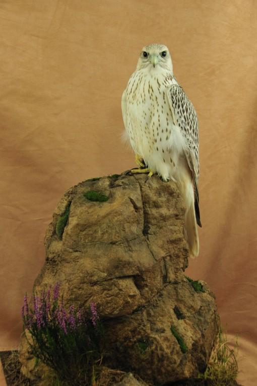 Gyrfalcon taxidermy Bird winner 2009 full
