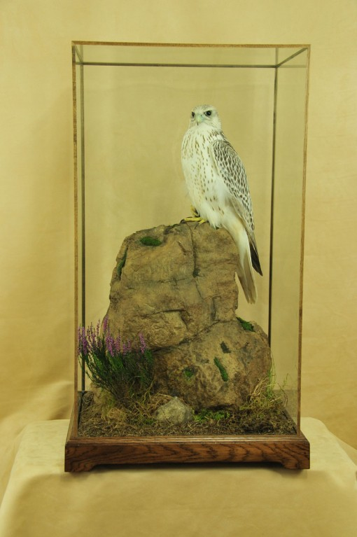 Gyrfalcon taxidermy Bird winner 2009 rock